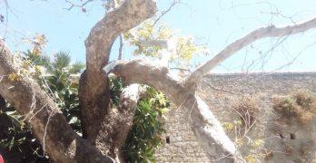 Δέντρο έπεσε και καταπλάκωσε αυτοκίνητο στη Παλιά Πόλη
